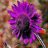 Lovejoy Store, 50 semi di girasole viola perenni per piante da giardino