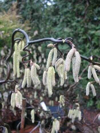 Korkenzieher Hasel Corylus avellana Contorta 60-80 cm hoch im 3 Liter Pflanzcontainer