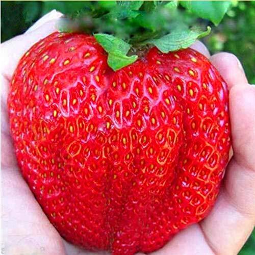 Soteer Garten - 100 Stück Riesen Erdbeere Samen großfruchtig zuckersüss Zierpflanzen Samen für Garten und Balkon Topf usw.
