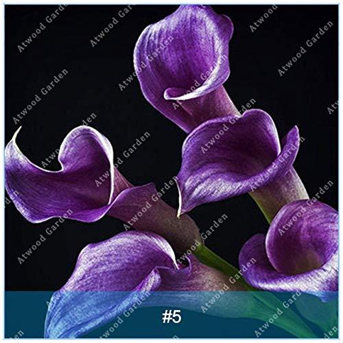 Elitely 30 Stcke Bunte Calla Samen Ture Samen Seltene Blumen S Fr Hausgarten Hohe Keimrate: 5