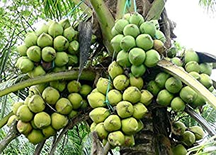 Nature Valley High Yield Hybrid Rare Coconut Live Plant - Qualitative Hybrid Live Plant Kerala Coconut Tree Plant (Dwarf Coconut Plant)