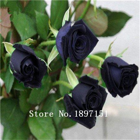 Big vente 200 graines / paquet, noir rouge rares Graines Rose Plante Semis Jardin Seed FLOWER GRAINES