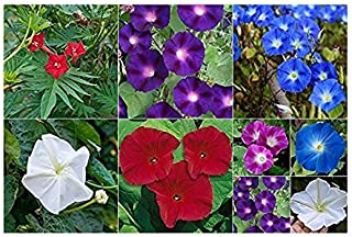 Amazon com: Morning Glory - Bulb Collections / Flowers / Plants