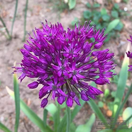 Blumenzwiebeln Alliumzwiebeln Allium aflatunense Purple Sensation (Iranlauch) (10 Zwiebeln)