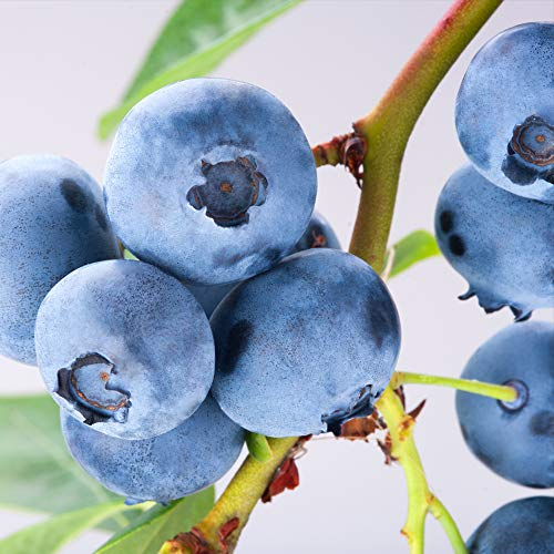 Blueberry Bush PowderBlue Deciduous Hardy Shrub Exquisite Powder-Blue Blueberries Ideal for All Garden Types Attracts Wildlife Fruit Blueberry PowderBlue 1 x 9cm Pot by Thompson and Morgan