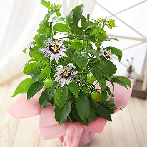 母の日 果樹鉢・たわわに実る「パッションフルーツ」 2021【果物 花 生花 ギフト プレゼント 鉢植え】