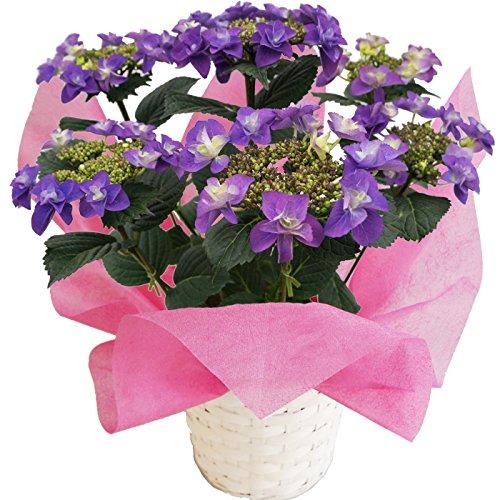 フェアリーラブブルー さかもと園芸 達人のあじさい 5号鉢 母の日 あじさい アジサイ 紫陽花 花鉢植え 花 ギフト プレゼント 贈答品