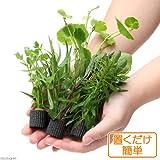 (水草)置くだけ簡単 マルチリングブラック(黒) おまかせ有茎草5種(水上葉)(無農薬)(計5個)