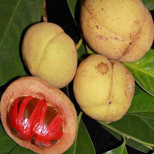 RETS Seeds: - Muskatnussbaum Seeds