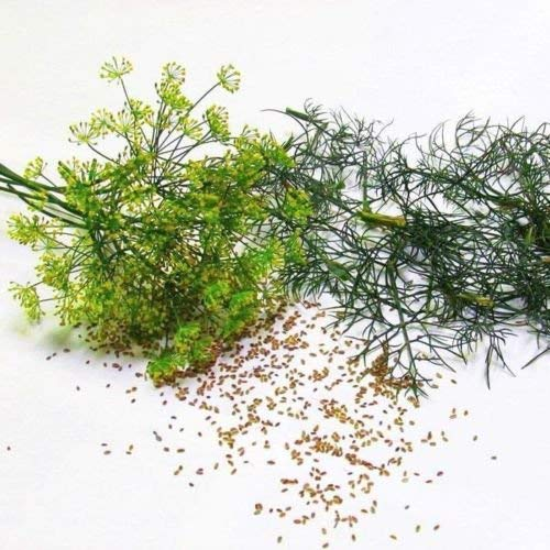 vegherb 500 Samen G124 Dill Bouquet Kräutersamen Easy Grow Supernahrungs Sprießen Microgreen