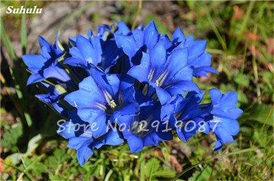 De haute qualité bonsaïs 100 Pcs Largeleaf gentiane Graines vivace Fleur bleue Graine Blooming Plantes Diy jardin Ménage 3