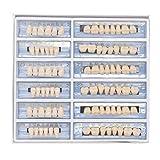 Oral Dentistry アクリル樹脂 義歯 歯模型 歯科材料 歯科用 ハロウィンホラーの小道具 ホワイト義歯23 A2 /A3 アップ&ダウン 168/箱 (A2)