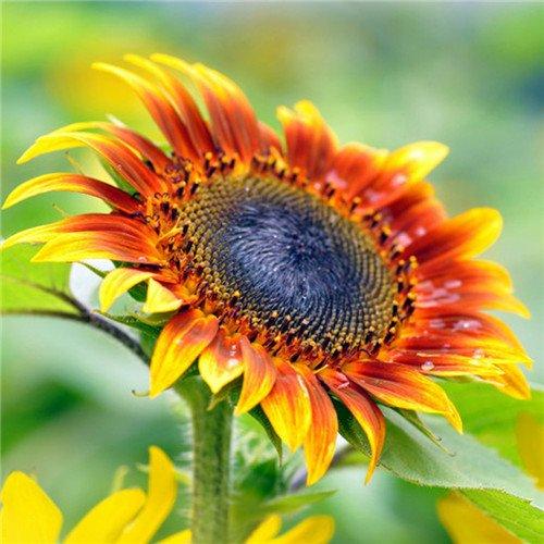 20 pcs/sac de graines de tournesol, graines de tournesol pour la plantation des graines de fleurs bonsaï croissance naturel pour le jardin de la maison Plantin 10
