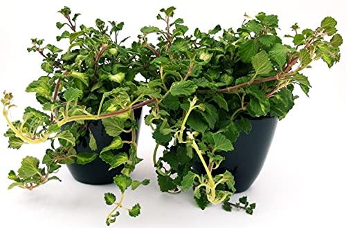 Incienso de plexiglás verde y verde claro en maceta de 14 cm, 2 plantas, plantas auténticas