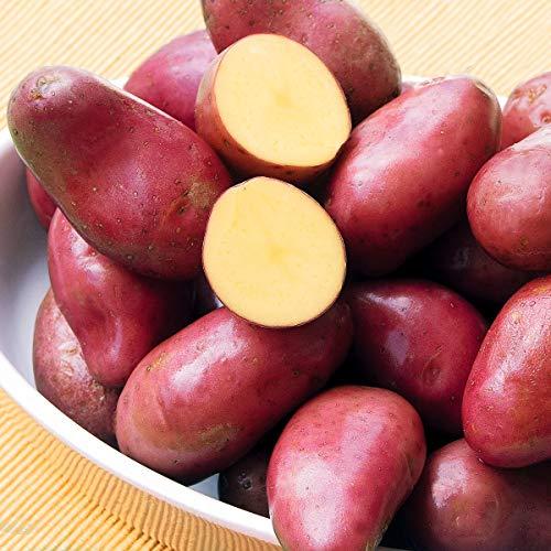 Qulista Samenhaus - Rarität 20pcs Mittelfrüh Kartoffel rotschalig ertragreich Pell-, Ofen-, und Salzkartoffel Gemüsesamen winterhart mehrjärhig Zum Kochen und Würzen