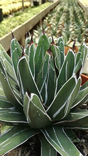 Agave victoria reginae in vaso diam 20cm Cactus