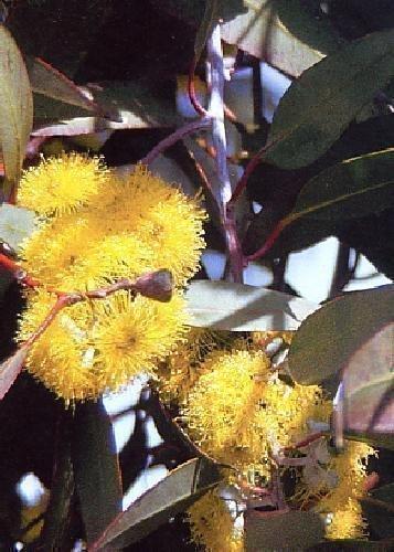 TROPICA - Schnee - Eucalyptus (Eucalyptus pauciflora ssp. niphophila) - 250 Samen