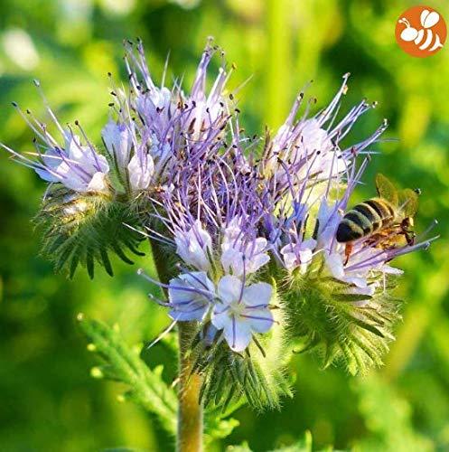 Yukio Samenhaus - Raritäten Phacelia-Gründünger hellviolett Bio-Samen Blumensamen winterhart mehrjährig für Bienen und Schmetterlinge