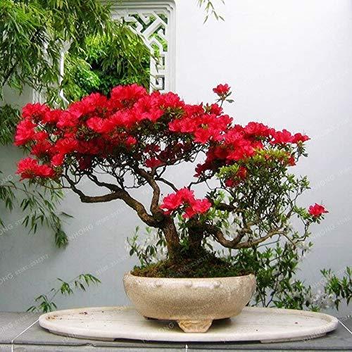 Cushy Seeds: Rare Sakura Bonsai Blume Kirschblüten Baum Kirschblüten Bonsaipflanzen Für Hausgarten Bonsai 10 Stück: 12