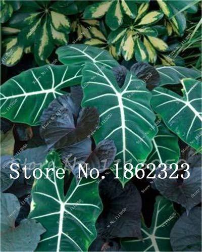 Generic Fresh 50 piezas de semillas de flores Caladium para plantar en verde