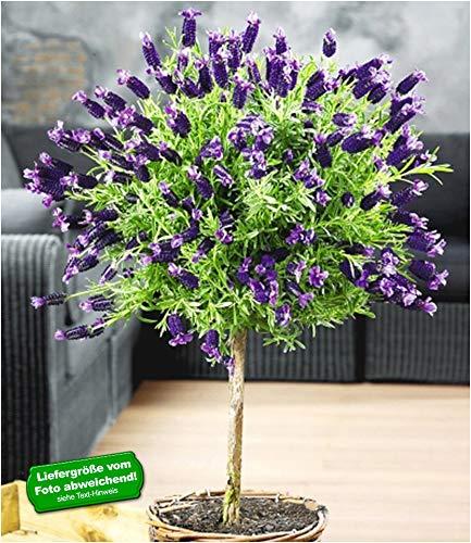 BALDUR Garten Lavendelstämmchen mit Krone, 1 Pflanze, Lavandula für Balkon & Terrasse Duftlavendel