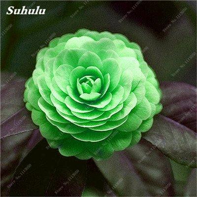 Grosses soldes! 10 Pcs Camellia Graines, Graines Bonsai Fleur, couleur rare, Pot de bonsaïs d'intérieur / extérieur des plantes pour jardin Facile à cultiver 10