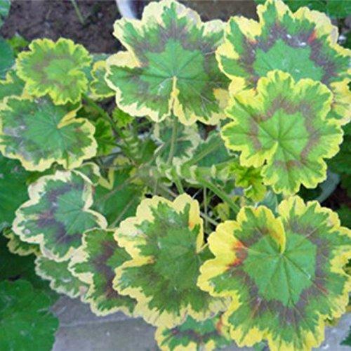 vente chaude Violet univalve Géranium Vivace Semences Semences Graines de fleurs Pelargonium peltatum pour chambres Indoor 20seeds / Pack
