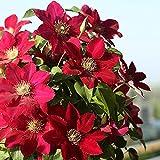 Bulbo de clematis,Planta decorativa mágica,Hermosas flores ornamentales,Planta rara-10 Bulbos,1