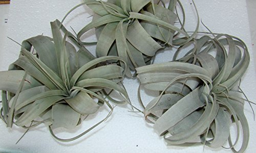 Tillandsia xerographica XL Luftpflanze