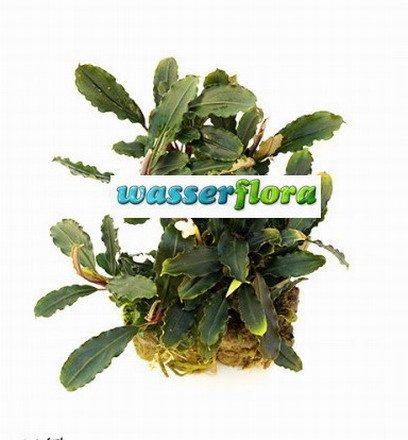 WFW wasserflora Bucephalandra spec. ´Deep Purple´ im Topf ***RARITÄT***