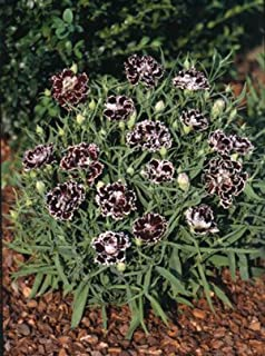 Dianthus Black and White Minstrels 1,000 seeds
