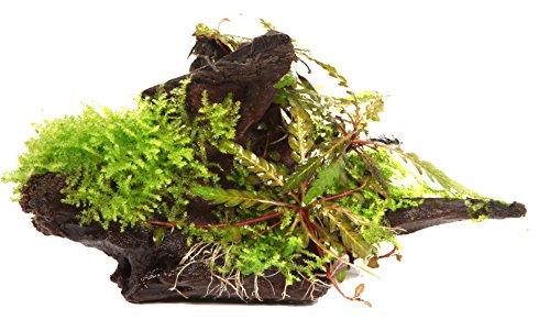 WFW wasserflora Wurzel mit Fiederspaltiger Wasserfreund und Moos/Hygrophila pinnatifida und Moss