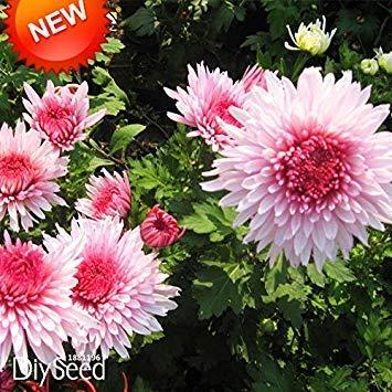 Verlust-Förderung!100 teile/los Schöne Pink Weiße Farbe Chrysantheme Samen Morifolium Samen DIY Garten Blume Pflanze, 3TC5P