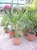 Chinesische Hanfpalme - Trachycarpus fortunei - Winterharte-Palme 60 cm