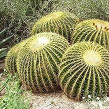 Semillas Cactus barril de oro (Echinocactus grusonii) 25 + Seeds (25) Semillas