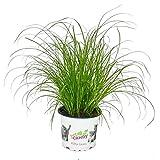 hierba de gato - Cyperus alternifolius - 3 plantas - al apoyo digestivo de gatos