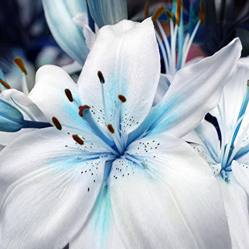 Pinkdose Lily Flower Seeds 50PCS/Bags Bonsai Indoor Outdoor Specials Blue Heart Lily Plant Seed-Easy Grow- DIY Home Garden