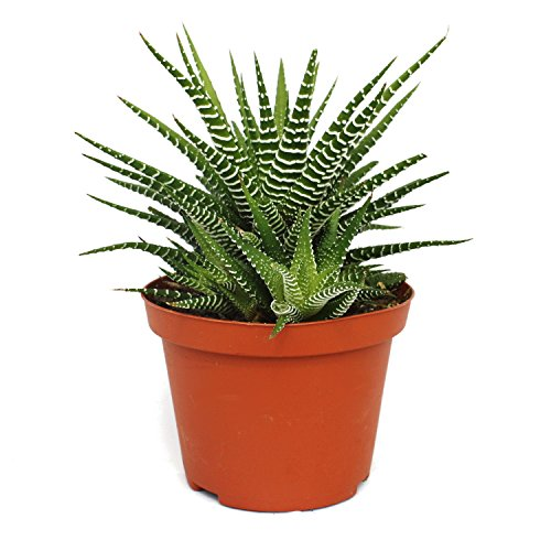 "Exotenherz - Haworthia fasciata""Big Band"" - Pflanze im 10,5cm Topf"