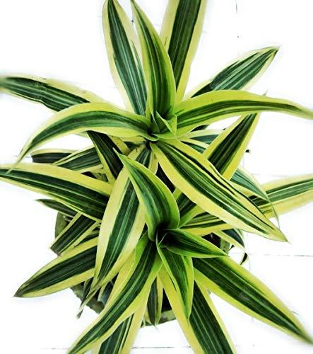 Dracaena reflexa , Song of India, Live Plant, Pleomele, Reflexed Dracaena