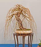 Rare Golden Curls Willow Tree Cutting - Live Tree Plant - Excellent Bonsai Specimen - One Golden Dragon Claw Tree Cutting - Curly Willow