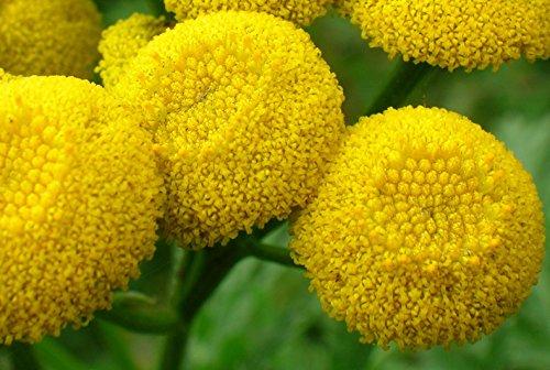 Tanaisie graines Asteraceae Fleur jaune bureau intérieur plantes ornementales, bricolage jardin maison Bonsai plantes Blooming 100 Pcs