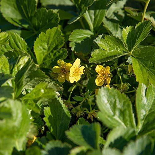 Kölle Bio Golderbeere, 3er-Set, Waldsteinia ternata, Topf 9 cm