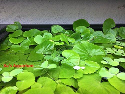 Brazilian Pennywort (Hydrocotyle leucocephala), Live Aquarium/Aquatic/Floating/Pond/Freshwater Plant, Planted Aquarium by G&Z