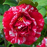Bloom Green Co. ! Grande vendita Rare viola camelia bonsai dei 50 pc in vaso Flower Garden flores in vaso piante ornamentali plantas giapponesi Camellia, BBU2: 3