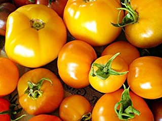 30+ ORGANICALLY GROWN Golden Jubilee Tomato Seeds, Heirloom NON-GMO, Indeterminate, Open-Pollinated, Low Acid, Super Productive, Delicious and Sweet, Grown in the USA!