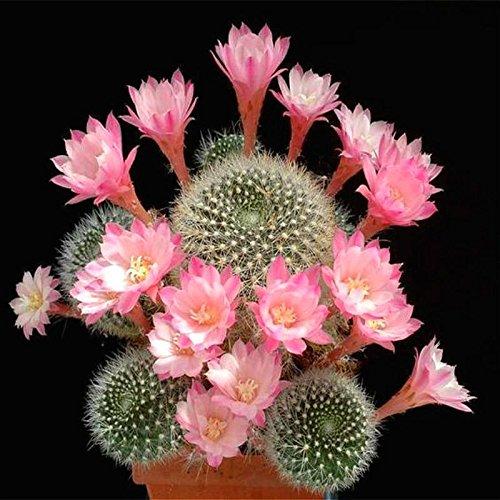 100 Pcs mixtes Cactus Graines Plantes d'intérieur Multifarious d'ornement semences rares plantes grasses fleurs Les graines peuvent purifient l'air Pour Jardin Vert clair