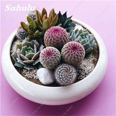 50 Pcs/Sac Succulentes, Graines Bonsai fleurs, plantes en pot purifient l'air, Plantes d'intérieur protection contre les radiations Bonsai Seeds 10