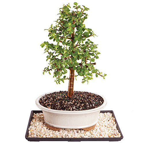 Brussel's Live Dwarf Jade Indoor Bonsai Tree - 8 Years Old; 10' to 14' Tall with Decorative Container, Humidity Tray & Deco Rock