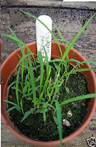 JustSeed Saatgut, Ostindisches Zitronengras/ Cymbopogon flexuosus, kleine Packung, 50Samen