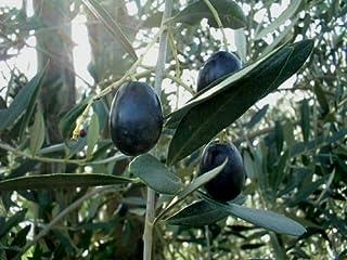 Seeds Plants, Seeds & Bulbs gaixample.org Benoon Olive Tree Seeds ...